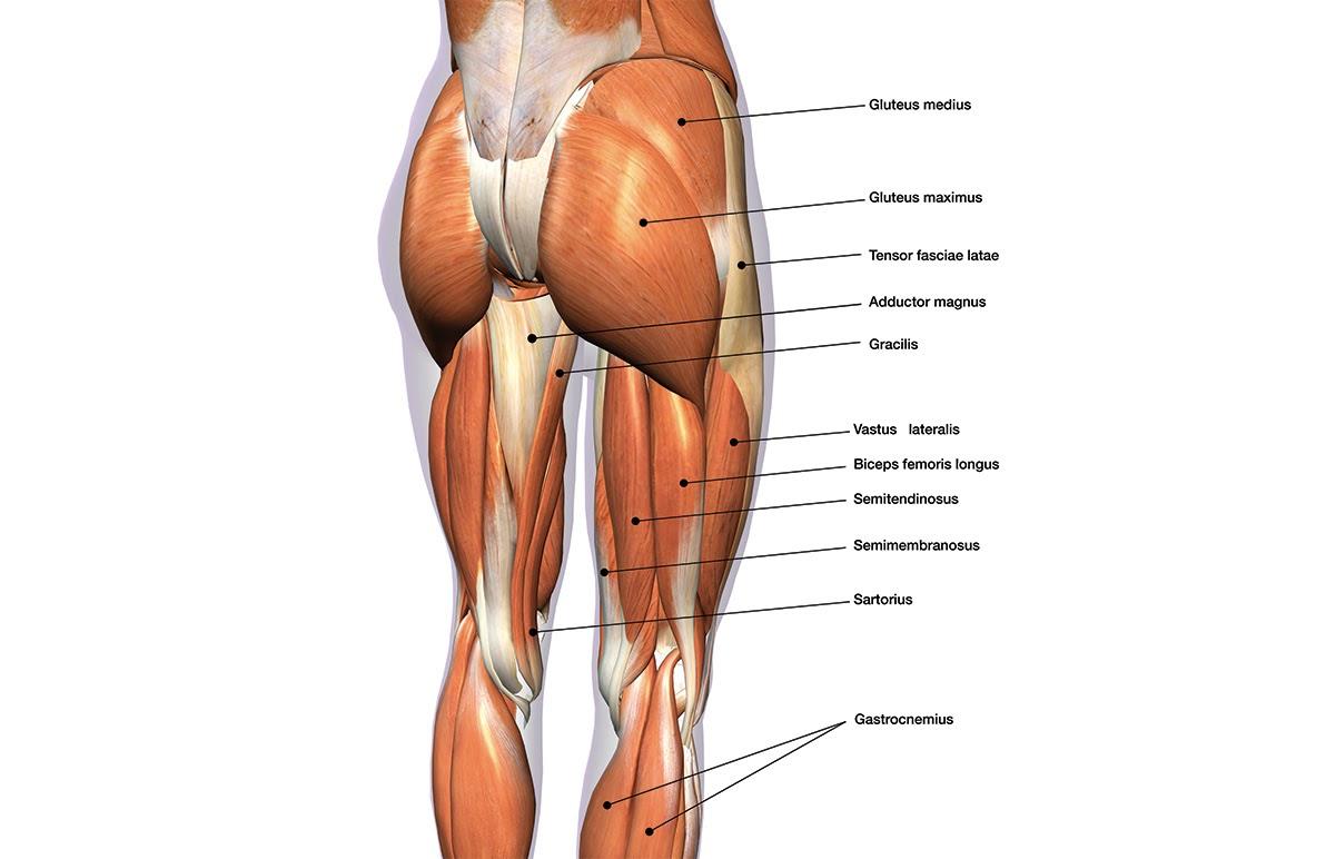 muscles fesses dr Petit